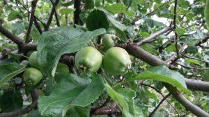 Sanselighet sure epler